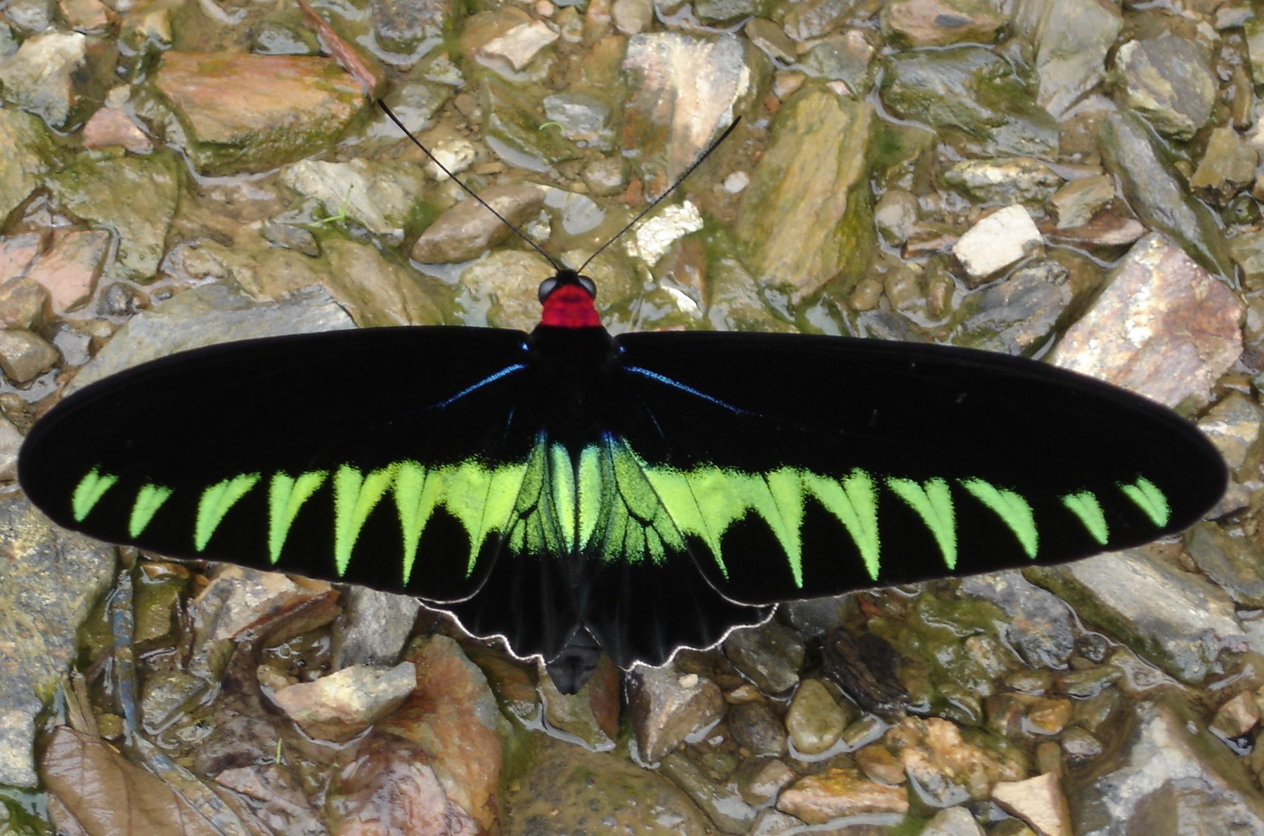 A bird-wing butterfly