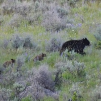 Female bear and her cubs